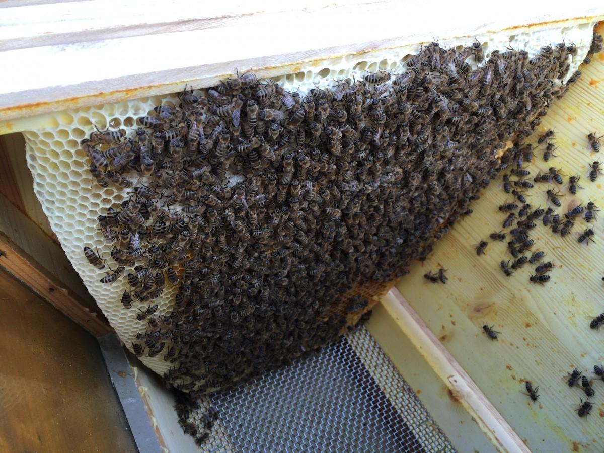 mitte august honig schleudern
